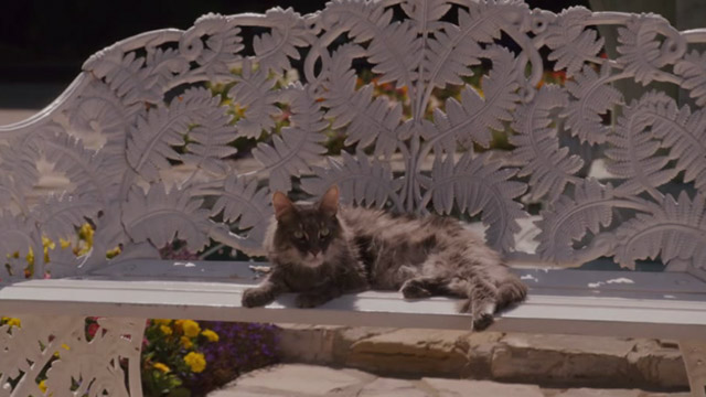 The House Bunny - gray Maine Coon cat Pooter on bench