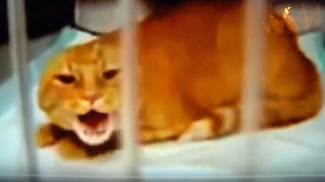 How to Let Go of the World and Love All the Things Climate Can't Change - viral screaming shelter cat video