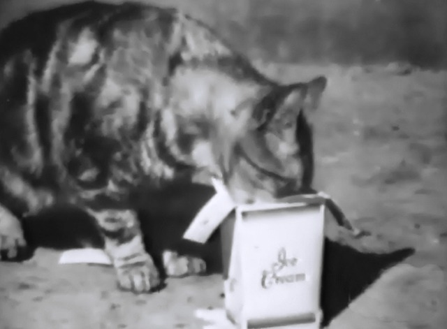 Ice Cream newsreel close up of tabby cat eating ice cream from container