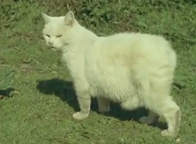 Isle of Man - white Manx cat