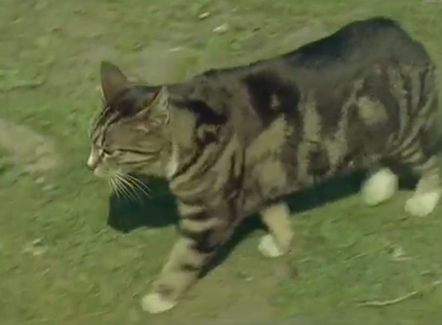 Isle of Man - Bengal tabby Manx cat