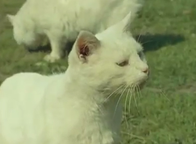 Isle of Man - white Manx cats