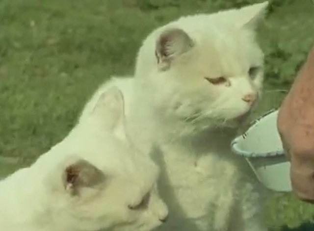 Isle of Man - white Manx cats being fed