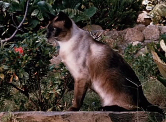 Jungle Cat - Siamese cat sitting in yard