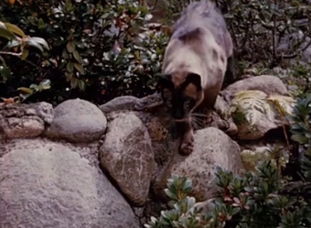 Jungle Cat - Siamese cat walking on rocks