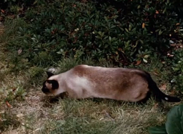 Jungle Cat - Siamese cat stalking in grass
