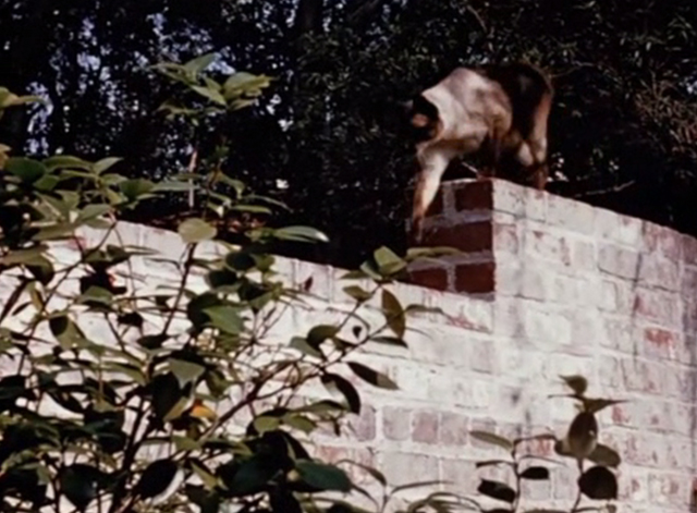 Jungle Cat - Siamese cat walking along brick wall