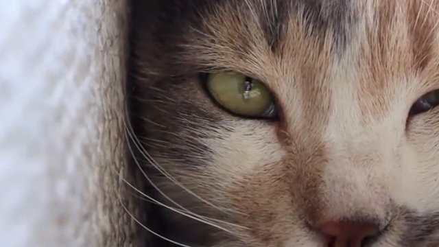 Kedi - close up of calico cat