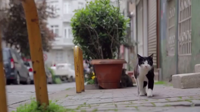 Kedi - tuxedo cat Gamsiz walking down street