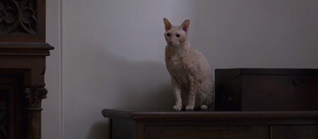 Lady Macbeth - ginger Cornish Rex cat on side board