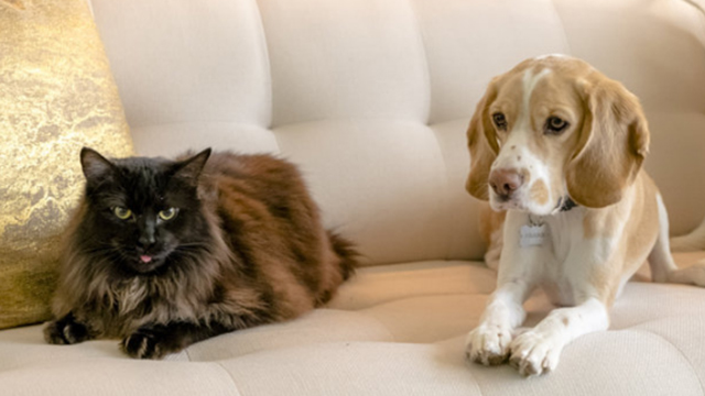Like Cats and Dogs - long-haired black cat Mozart and beagle dog Frank on couch