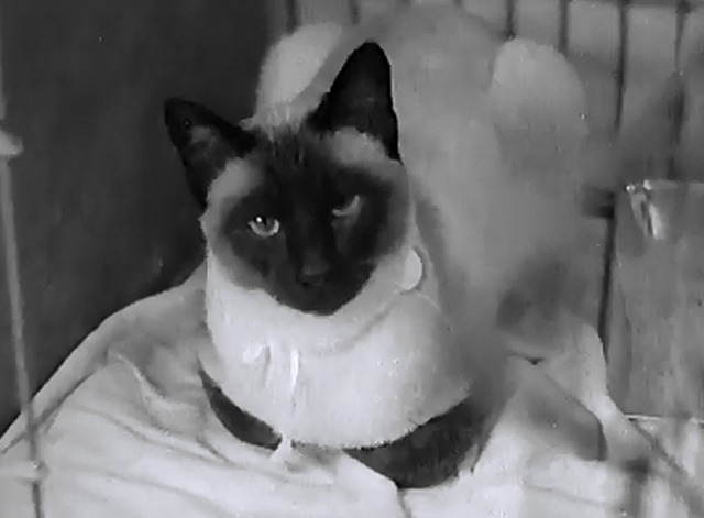 London Cat Show 1937 - Siamese cat in cage