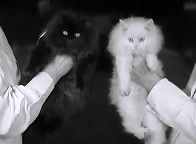 London Cat Show 1937 - black and white Persian cats