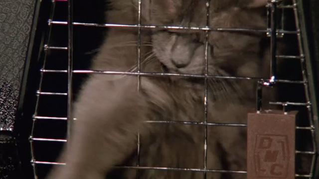 Madhouse - long-haired gray cat Scruffy reaching through wires of carrier