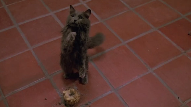 Madhouse - dirty long-haired gray cat Scruffy sitting up with play toy and dirt on floor