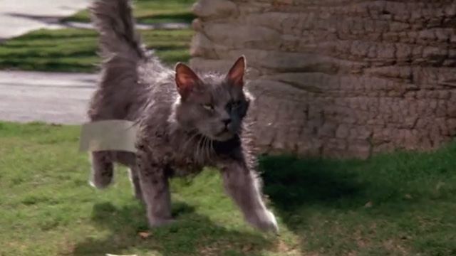 Madhouse - ragged long-haired gray cat Scruffy approaching with tag on him