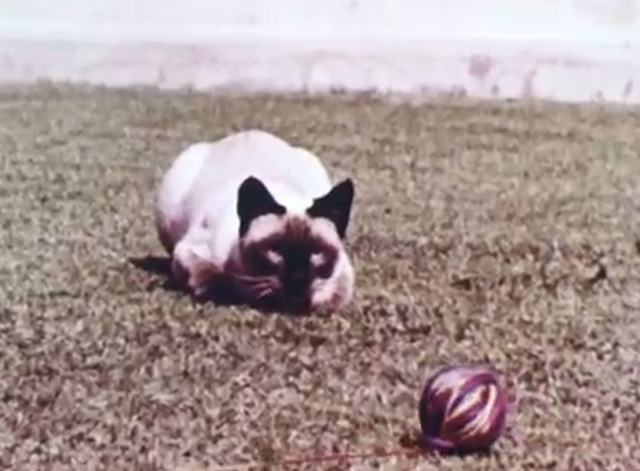Mammals Are Interesting - Siamese cat looking at ball of string