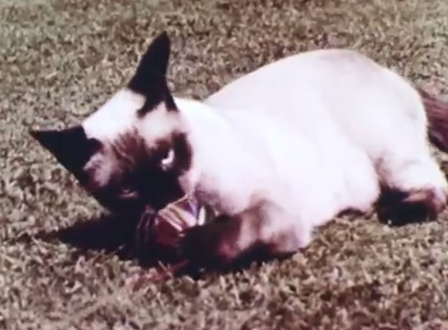 Mammals Are Interesting - Siamese cat playing with ball of string