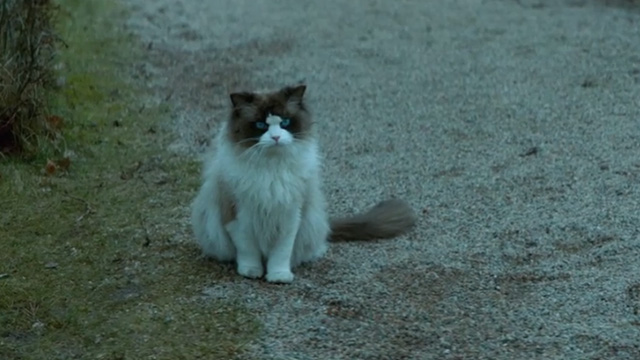 A Man Called Ove - Ragdoll cat sitting on path