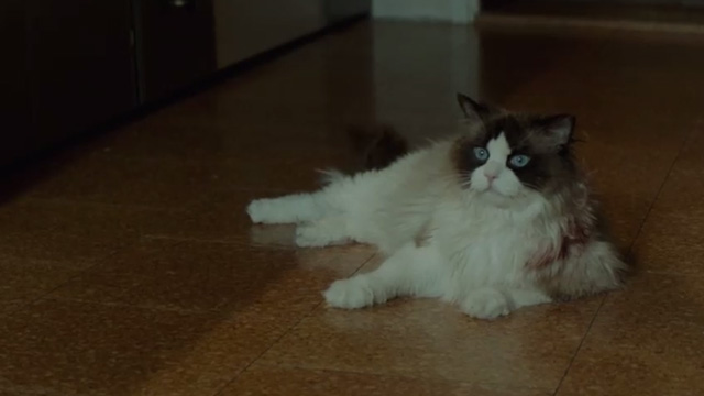 A Man Called Ove - Ragdoll cat lying on floor
