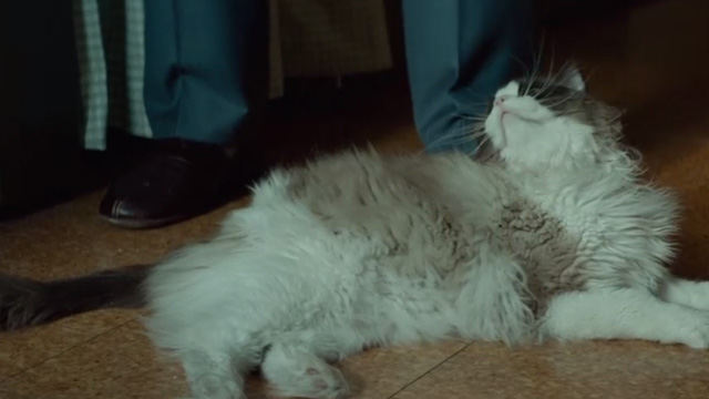 A Man Called Ove - Ragdoll cat lying on floor and looking up