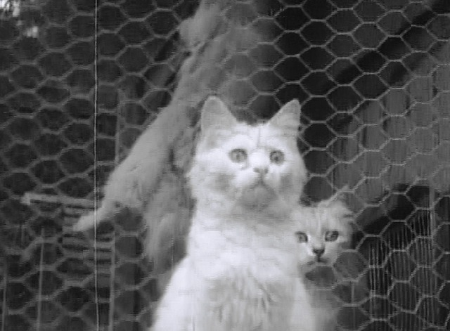 Maniac - white cats in cage