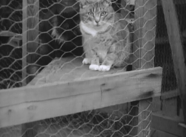 Maniac - short haired cat in cage