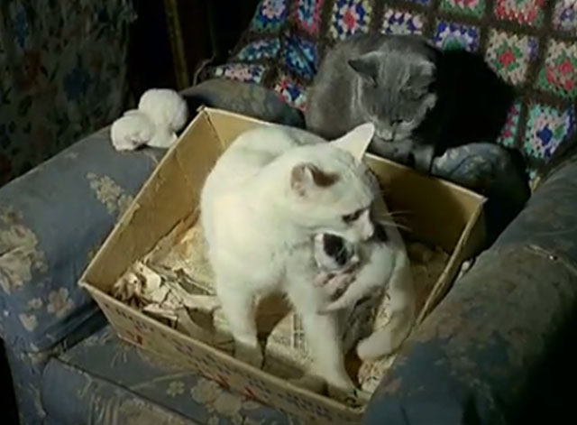white cat with kitten in mouth in box on chair