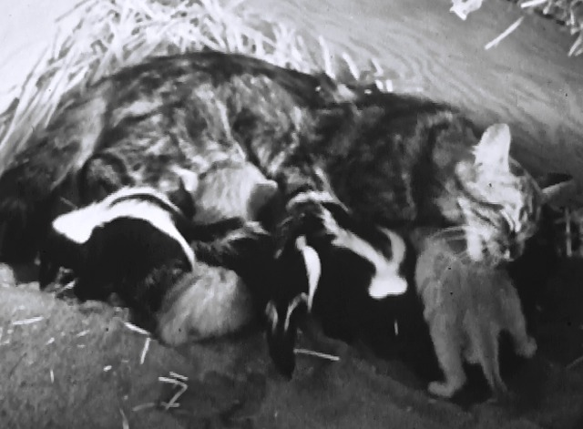 Mother Cat and Her Skunks - Maine Coon tabby cat cleaning kittens and baby skunks