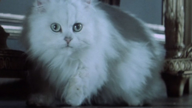 Never Say Never Again - close up of white Angora cat on video