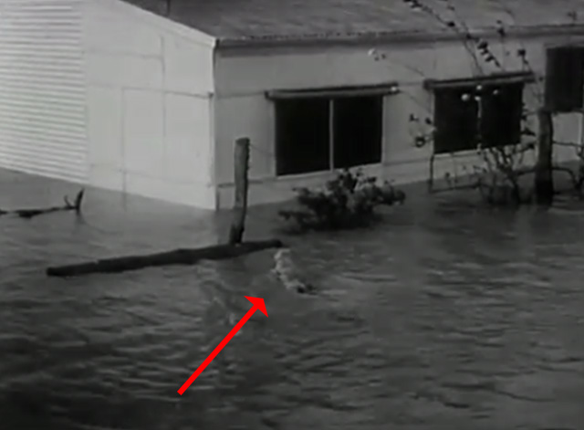 The News Magazine of the Screen, Vol. 7, Issue 2 - tabby cat swimming through Australian flood waters