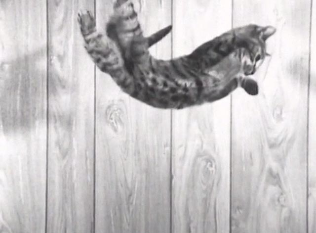 Nine Lives (The Eternal Moment of Now) - Bengal tabby cat being dropped from above