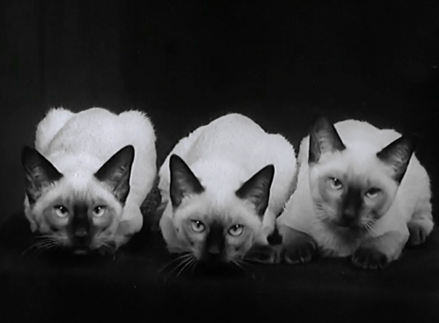 Not a Mouse in the House newsreel row of Siamese cats