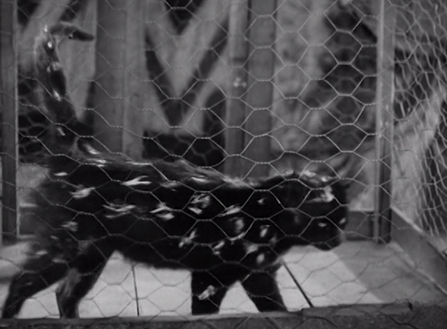 Clown Princes - black cat with white painted spots pacing in cage