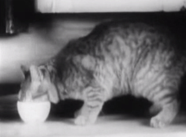 Our Gang - Little Mother - tabby cat on counter eating from cup