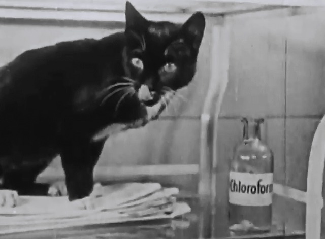 Our Gang - No Noise - tuxedo cat licking mouth next to chloroform bottle