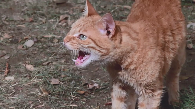 Pete's Dragon - ginger tabby cat meowing close
