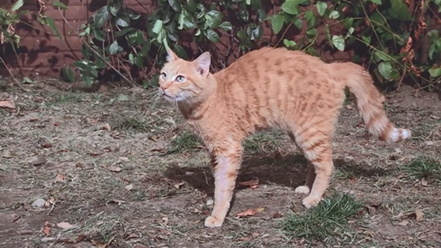 Pete's Dragon - ginger tabby cat arching back