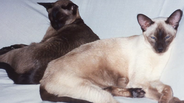 Pickle - photo of Siamese cats Tiny and Samantha