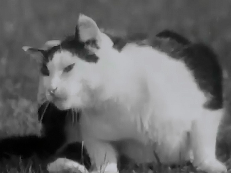 Pure and Simple newsreel - tuxedo cat scratching ear