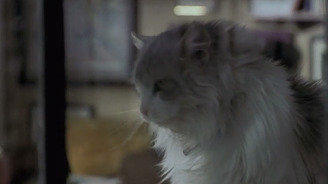 Runaway Bride - long-haired cat Italics looking out window