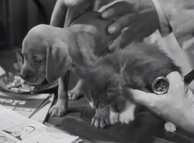 Scared Stiff - gray and white kitten and puppy sitting on desk