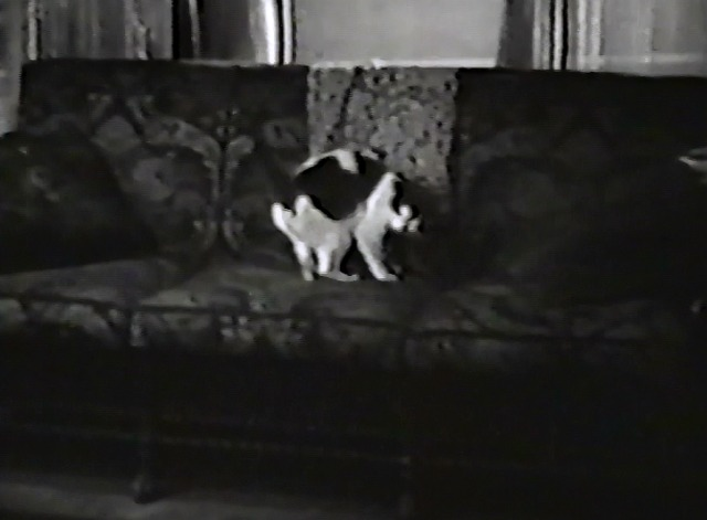 The Shrimp - black and white cat on sofa