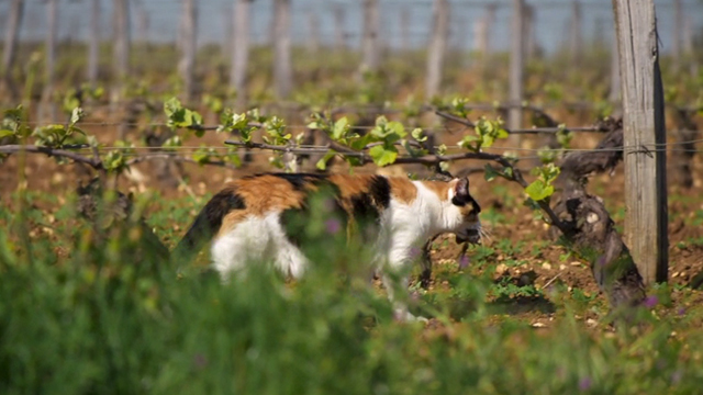 Somm - calico cat catching rat in vineyard