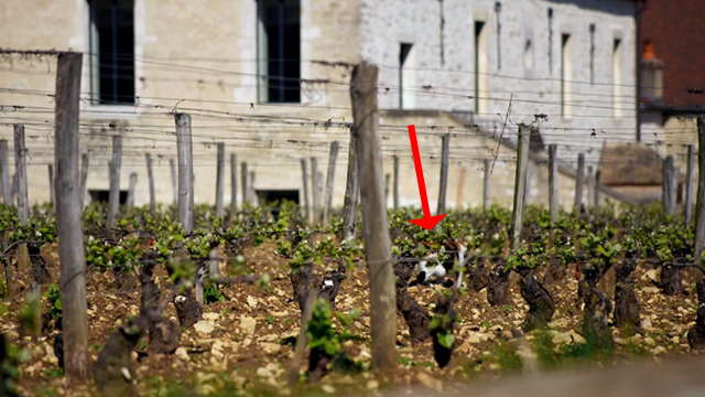 Somm - calico cat walking away in vineyard
