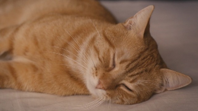 The Strange Little Cat - orange tabby cat Kasimir close up with eyes closed