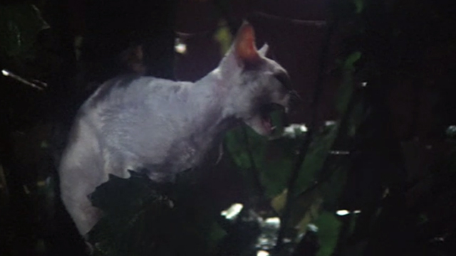 Superman - white cat Frisky meowing in tree