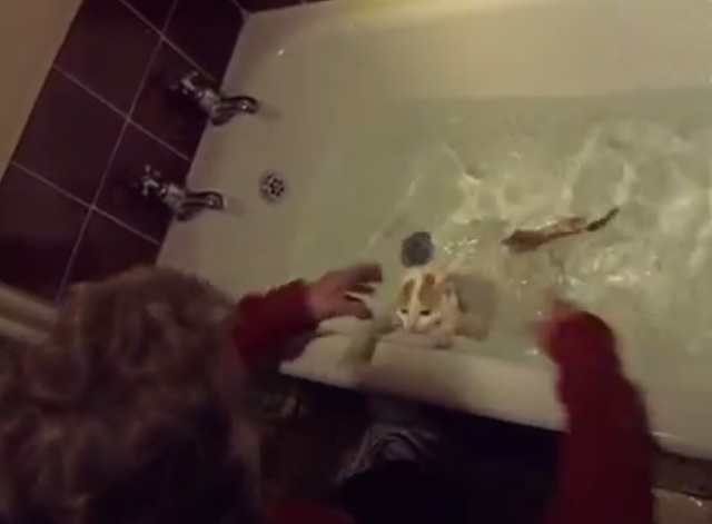 Turkish Van Cats Learn to Swim - Turkish Van Cat trying to get out of bathtub