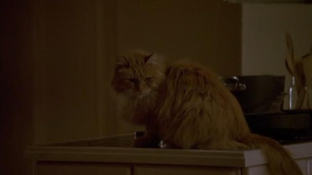 Unlawful Entry - orange long-haired tabby cat Tiny on counter