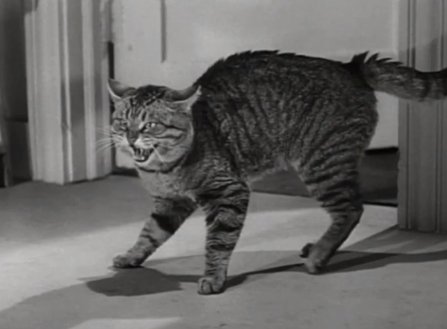 You Never Can Tell - tabby cat Boots hissing